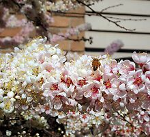 Bee on  Blossom  by lettie1957
