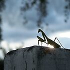 Praying Mantis by PhotoFox