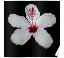 White Hibiscus Isolated on Black Background Poster