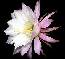 Cactus Flower by Chris Coetzee