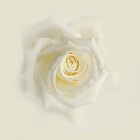 White Rose by hanspeters