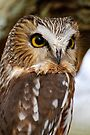 Saw Whet Owl - Amherst Island, Ontario by Michael Cummings