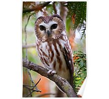 Northern Saw Whet Owl Poster