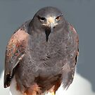 Red Tail Hawk by Jim Caldwell