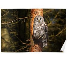 Barred Owl in Pine Tree -  Brighton, Ontario Poster