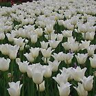 White Tulips by lezvee