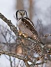 Northern Hawk Owl on branch by Michael Cummings