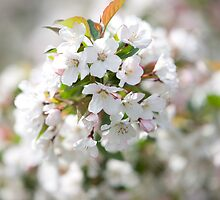 Cherry Blossoms by alissawilkinson