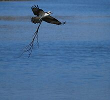 Male Osprey   by madman4