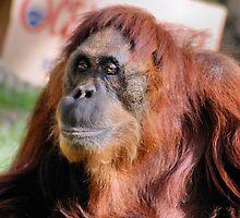 2nd female Sumatran orangutan by Lenny La Rue, IPA