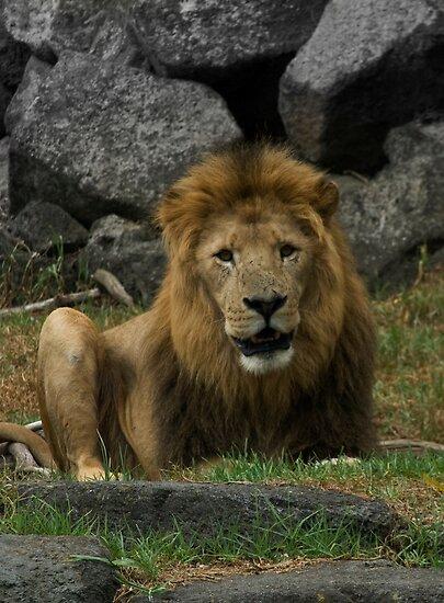 Lion by Luke Haggis