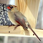 Female Cardinal by Raider6569