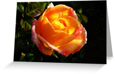 Sunlit Rose by Rebecca Cruz