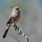 Pyrrhuloxia by Bill Morgenstern