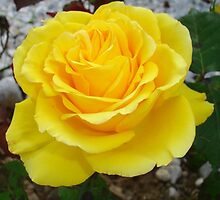 Golden Yellow Rose with Garden Background by taiche