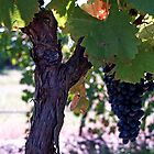 Grape Trunk with Reds - Pokolbin Hunter Valley Australia by anotherdonkeyd