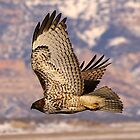 Red Tailed Hawk by Tim Harper