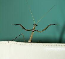 Posing Mantis... (Praying Mantis - Miomantis caffra) by Qnita