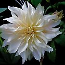 White Dahlia by Nancy Polanski