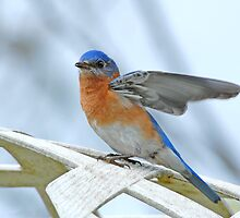 Bluebird Wing-Wave by Bonnie T.  Barry
