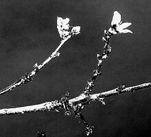 Peach Blossom Blowing In Wind; Black And White by POETRY508