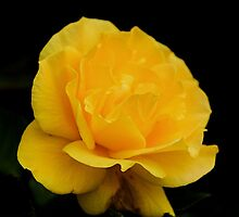 Golden Yellow Rose Isolated on Black Background by taiche