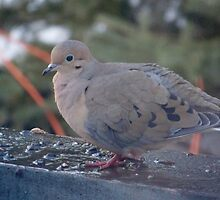 Morning Dove by pattimus
