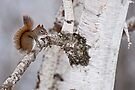 Red Squirrel on Birch Tree by Michael Cummings