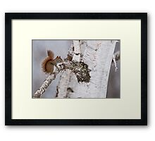 Red Squirrel on Birch Tree Framed Print