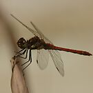 dragonfly near pool by mtths