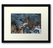 Red Squirrel in Spruce tree - Ottawa, Ontario - 2 Framed Print
