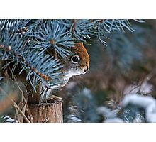 Red Squirrel in Spruce tree - Ottawa, Ontario - 2 Photographic Print
