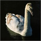 Stratford cygnet by lisa1970