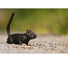 Black Eastern Chipmunk 2 - Ottawa, Ontario Photographic Print