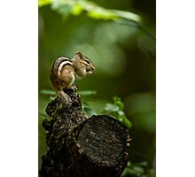 Chipmunk in the forest - Jackpine Trail, Ottawa Photographic Print