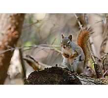 Red Squirrel - Ottawa, Ontario Photographic Print