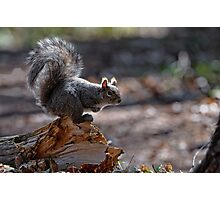Grey Squirrel - Ottawa, Ontario Photographic Print