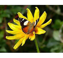Yellow Admiral Butterfly - NZ Photographic Print