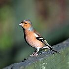 Chaffinch  by larry flewers