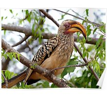 I'm Not Photogenic!! - Southern Yellow-Bill Hornbill - SA Poster