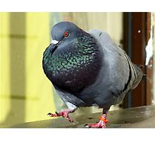 Rocky's Story - Rescued Rock Pigeon NZ Photographic Print