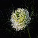 love-in-a-mist by Jo-PinX