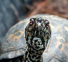 Eastern Box turtle by brianhbradley