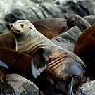 Seal Colony, Bruny Island Tasmania by Andrew Wilson