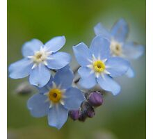 Close-up Forget Me Not - Blue Myosotis Photographic Print