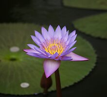 The Eye of the Lotus by Jonathan Dower