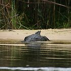 Disappearing Crocodile by Adrianne Yzerman