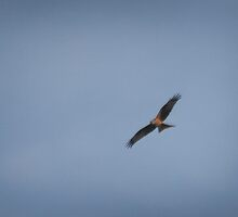 Red kite delight by miradorpictures