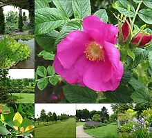Hyde Hall Collage Featuring Wild Rose by kathrynsgallery