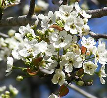 Pear Blossoms by AlwaysJer